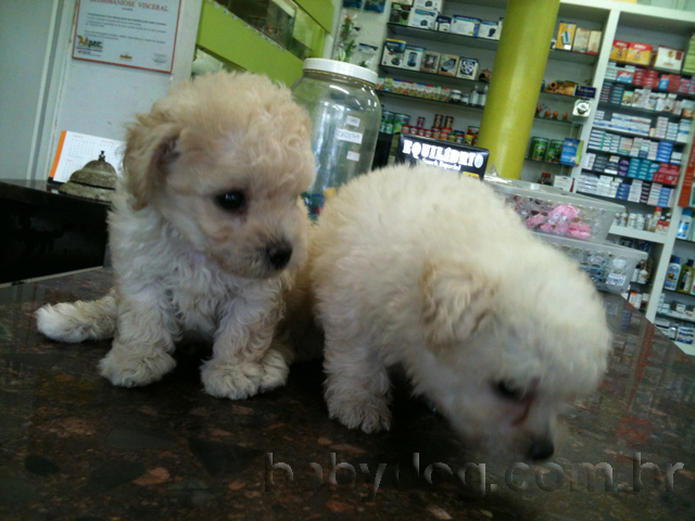 Micro Toy Dogs Poodle Micro · Poodle Toy