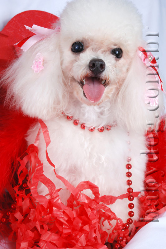 Micro Toy Dogs Compre Poodle Micro Toy de