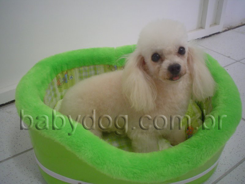 Poodle Micro Toy em Fortaleza