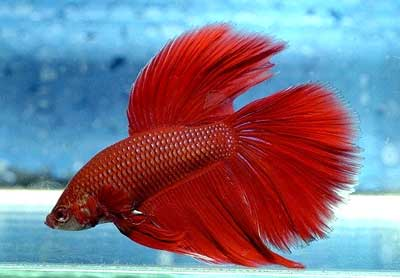 Betta splendens baby dog pet shop veterin ria for Peces que no necesitan oxigeno