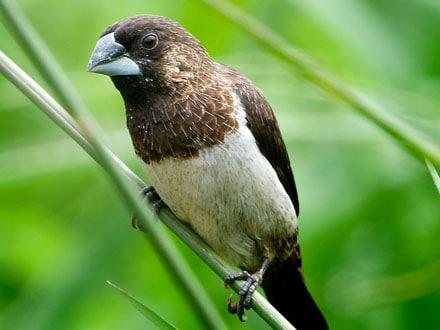 Pássaro Manon.