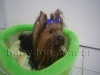 Said - Yorkshire Terrier
